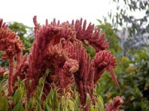 amaranto-kiwicha