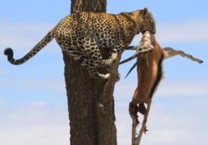 leopardo.zampa.gacela