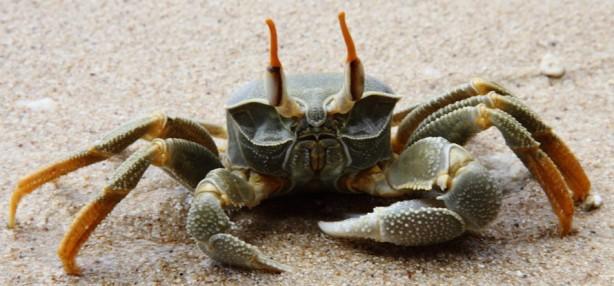 madagascar-crabe