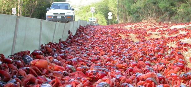 migracion-cangrejos